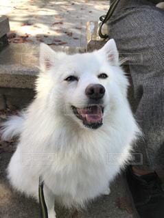 犬,公園,動物,屋外,白,散歩,休憩,笑顔,日本スピッツ