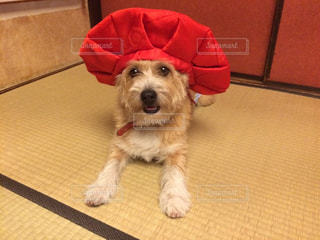 犬,動物,屋内,赤,かわいい,床