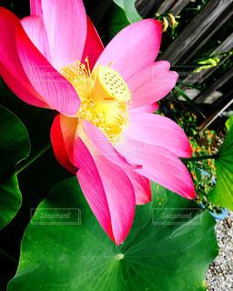 思い出の蓮の花の写真・画像素材[1920618]