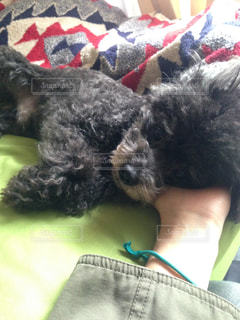 犬,可愛い,トイプードル,トイプー,dog,Cute,腕枕,甘えん坊,poodle,おじさん,あざとい,甘え上手,たまらん
