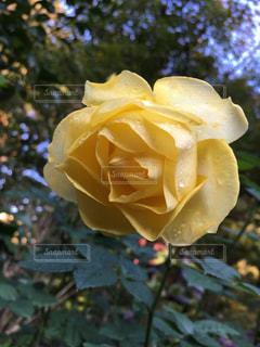 花,植物,水,水滴,バラ,薔薇,水玉,雫,しずく