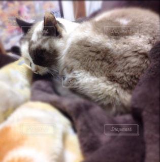 猫,かわいい,ふわふわ,寝てる,1匹,もこもこ,ミルクティー色,市松模様クッキー柄