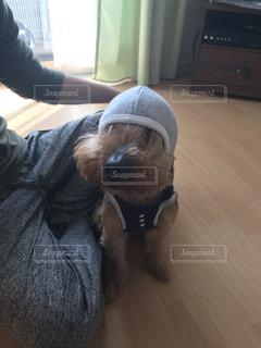 犬,屋内,帽子,床,人物,人,可愛い,おすわり,愛犬,ヨークシャーテリア,ヨーキー