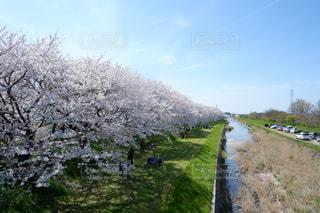 桜並木の写真・画像素材[1967902]