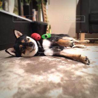 犬,室内,ペット,柴犬,ドヤ顔,日本犬,マテ,黒豆柴,コマンド