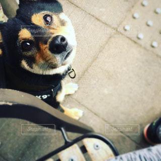 犬,見上げる,ペット,アップ,柴犬,お散歩,日本犬,豆柴,しばいぬ,黒豆柴