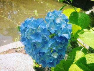 花,屋外,神社,青,ハート,紫陽花,ハートマーク,のんびり,まったり,青色,マーク,日中