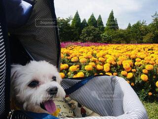 犬とお花の写真・画像素材[1916011]