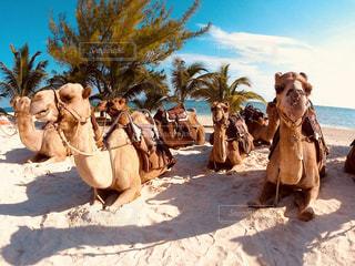 ラクダの休憩の写真・画像素材[2070953]