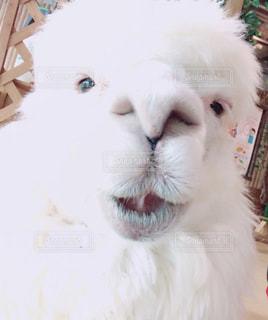 カメラを見ている白い動物のクローズアップの写真・画像素材[2362065]
