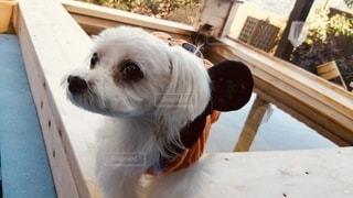 テーブルの上に座っている茶色と白の犬の写真・画像素材[2705235]