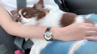 腕枕ですやすや寝るチワワの写真・画像素材[2027946]