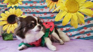 夏を感じる愛犬の写真の写真・画像素材[2704157]