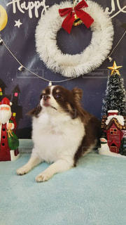 愛犬と一緒にクリスマスパーティーの写真・画像素材[2704165]