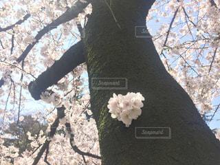 春,桜,木,花びら,見上げる,ハート,お花見