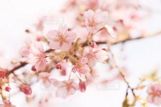 春告花の写真・画像素材[1978925]