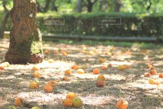 落ちた梅の実の写真・画像素材[2278855]
