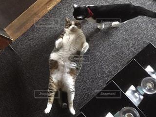 猫,動物,ペット,人物,ネコ,リラックス猫,ぽっちゃり猫
