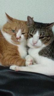 猫,動物,かわいい,ペット,人物,ネコ,仲良し猫