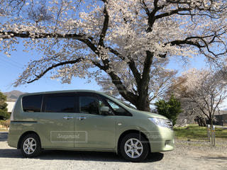 公園,花,春,桜,車,景色,満開,桜の木,日中,小春日和,セレナ,抹茶色,緑の車