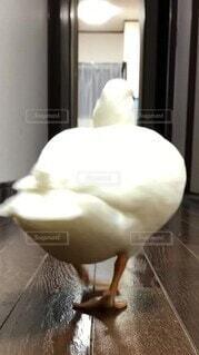 鳥,白,かわいい,足,室内,廊下,アヒル,お尻,あひる,駆け足,コールダック,フリフリ