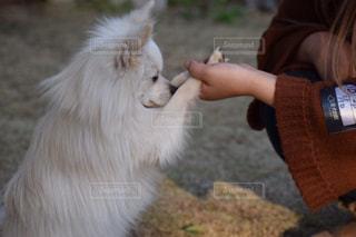 犬,動物,ポメラニアン,白,散歩,手,いぬ,外,人,反省,dog,ドッグラン,わんちゃん,私,一歳