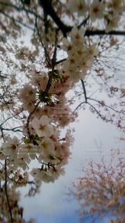 No.402770 桜