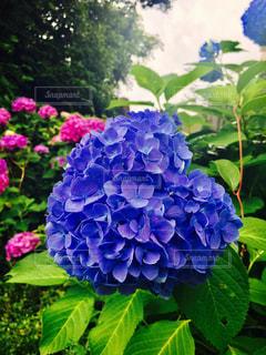 花,あじさい,ハート,紫陽花,むしくい