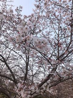 桜の話の写真・画像素材[2007364]