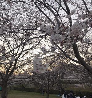 桜はココだよの写真・画像素材[2007399]