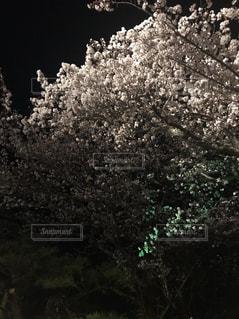 雲の様な桜の木の写真・画像素材[2007455]