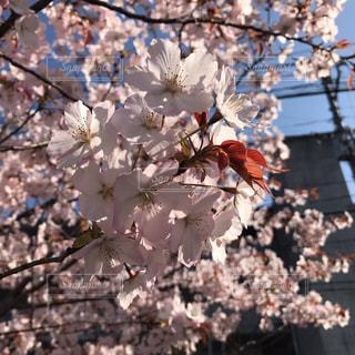 身近に桜の葉の写真・画像素材[2011973]