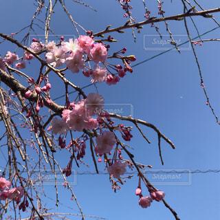 春が来たの写真・画像素材[2012015]