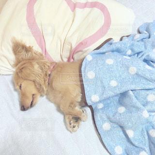 犬,ペット,布団,睡眠,ミニチュアダックスフンド,ベージュ,おやすみ,おひるね,フォトコンテスト,ミルクティー色