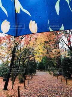 紅葉,雨,傘,京都,青,水,水滴,折りたたみ傘,落ち葉,龍安寺,古風,コントラスト,柄,静