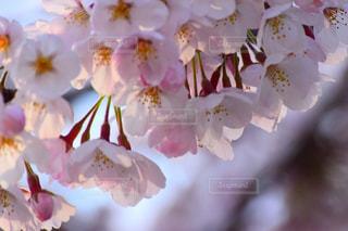 ピンクの写真・画像素材[1970379]