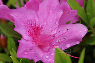 雨の中のつつじの写真・画像素材[2107790]