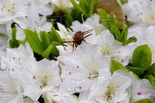公園,花,雨,緑,植物,白,フラワー,水滴,葉,花びら,蜂,水玉,昆虫,雫,flower,しずく,雨粒,つつじ