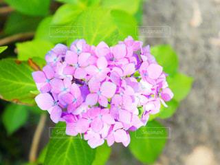 花,屋外,ピンク,緑,植物,あじさい,フラワー,鮮やか,ハート,紫陽花,flower,梅雨,草木,マーク,フローラ