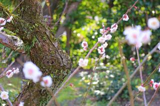 梅の花の写真・画像素材[3014344]