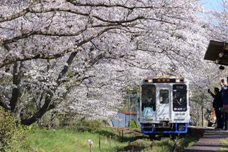 桜のトンネルを抜けての写真・画像素材[3082492]