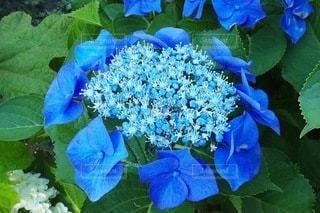 紫陽花の写真・画像素材[3375045]