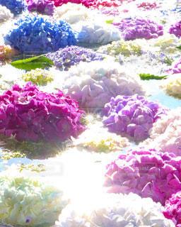紫陽花の花手水の写真・画像素材[3375049]