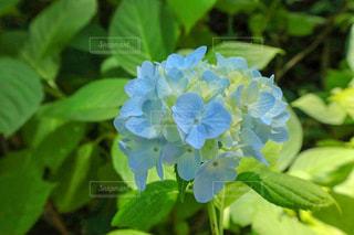 紫陽花の写真・画像素材[3384785]