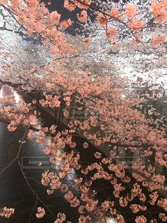 花,春,桜,木,ピンク,川辺,花見,夜桜,ライトアップ,癒し,イベント,名所,さくら,峡谷,ブロッサム
