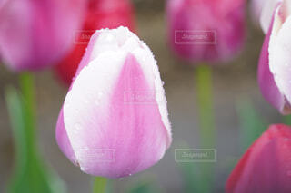 ピンクの花のクローズアップの写真・画像素材[4309195]