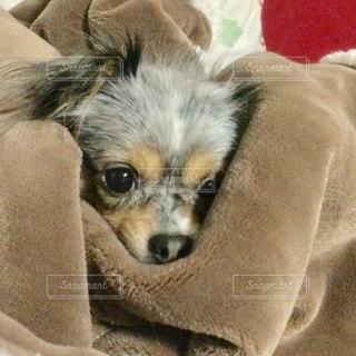 犬,動物,チワワ,屋内,かわいい,茶色,ベージュ,ミルクティー色