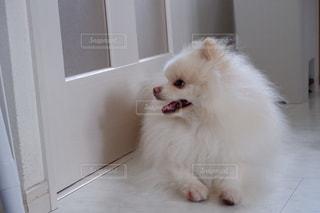 ドアの前に座っている白い猫の写真・画像素材[2723625]