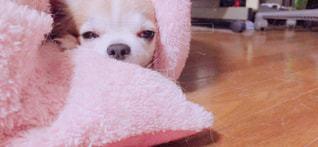 犬,動物,チワワ,室内,いぬ,わんちゃん,ベッド,睡魔