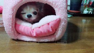 犬,動物,チワワ,屋内,ピンク,かわいい,室内,いぬ,わんちゃん,ウインク,ベッド